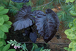 Royal Hawaiian® Black Coral Elephant Ear (Colocasia esculenta 'Black Coral') at Riverbend Nurseries