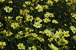 Full Moon Tickseed (Coreopsis 'Full Moon') at Riverbend Nurseries