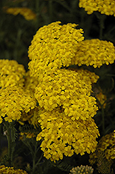 Desert Eve™ Yellow Yarrow (Achillea millefolium 'Desert Eve Yellow') at Riverbend Nurseries