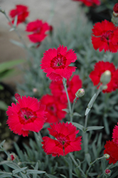 Red Beauty Pinks (Dianthus gratianopolitanus 'Red Beauty') at Riverbend Nurseries