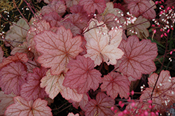 Georgia Peach Coral Bells (Heuchera 'Georgia Peach') at Riverbend Nurseries