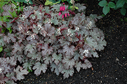 Cracked Ice Foamy Bells (Heucherella 'Cracked Ice') at Riverbend Nurseries