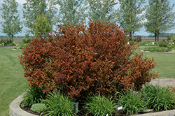 Coppertina® Ninebark (Physocarpus opulifolius 'Mindia') at Riverbend Nurseries