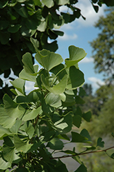 Windover Gold Ginkgo (Ginkgo biloba 'Windover Gold') at Riverbend Nurseries