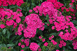Jolt™ Pink Pinks (Dianthus 'Jolt Pink') at Riverbend Nurseries