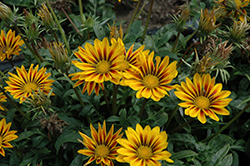 New Day Red Stripe Shades (Gazania 'New Day Red Stripe') at Riverbend Nurseries