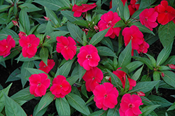 Divine™ Cherry Red New Guinea Impatiens (Impatiens hawkeri 'Divine Cherry Red') at Riverbend Nurseries