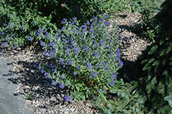 First Choice Caryopteris (Caryopteris x clandonensis 'First Choice') at Riverbend Nurseries