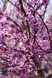Ace Of Hearts Redbud (Cercis canadensis 'Ace Of Hearts') at Riverbend Nurseries