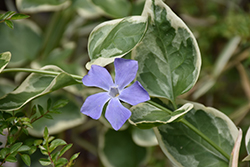 Variegated Periwinkle (Vinca major 'Variegata') at Riverbend Nurseries