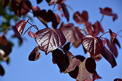 Merlot Redbud (Cercis canadensis 'Merlot') at Riverbend Nurseries