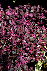 Crimson Fire™ Chinese Fringeflower (Loropetalum chinense 'PIILC-I') at Riverbend Nurseries