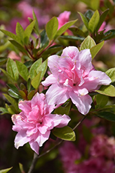 Encore® Autumn Carnation™ Azalea (Rhododendron 'Roblec') at Riverbend Nurseries