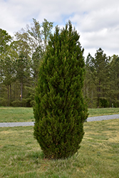 Spartan Juniper (Juniperus chinensis 'Spartan') at Riverbend Nurseries