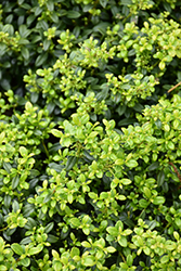 Soft Touch Japanese Holly (Ilex crenata 'Soft Touch') at Riverbend Nurseries