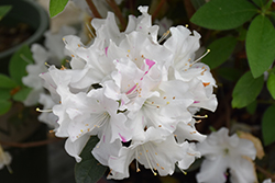 Encore® Autumn Lily™ Azalea (Rhododendron 'Roblex') at Riverbend Nurseries