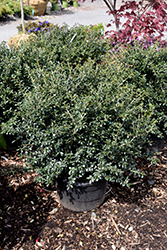 Green Lustre Japanese Holly (Ilex crenata 'Green Lustre') at Riverbend Nurseries