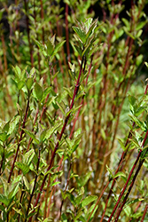 Arctic Fire® Red Twig Dogwood (Cornus sericea 'Farrow') at Riverbend Nurseries