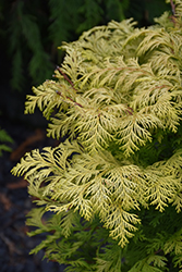 Cripps Gold Falsecypress (Chamaecyparis obtusa 'Crippsii') at Riverbend Nurseries