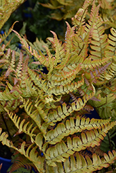Brilliance Autumn Fern (Dryopteris erythrosora 'Brilliance') at Riverbend Nurseries