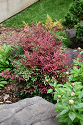 Obsession™ Nandina (Nandina domestica 'Seika') at Riverbend Nurseries