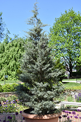 Blue Ice Smooth Arizona Cypress (Cupressus arizonica 'Blue Ice') at Riverbend Nurseries
