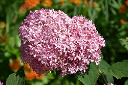 Invincibelle® Spirit Smooth Hydrangea (Hydrangea arborescens 'NCHA1') at Riverbend Nurseries