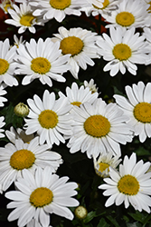 Snowcap Shasta Daisy (Leucanthemum x superbum 'Snowcap') at Riverbend Nurseries