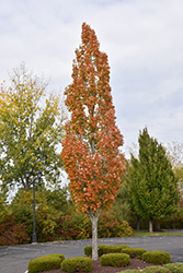 Armstrong Maple (Acer x freemanii 'Armstrong') at Riverbend Nurseries
