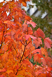 Bowhall Red Maple (Acer rubrum 'Bowhall') at Riverbend Nurseries