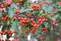 Winter King Hawthorn (Crataegus viridis 'Winter King') at Riverbend Nurseries