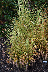 Gold Breeze Maiden Grass (Miscanthus sinensis 'Gold Breeze') at Riverbend Nurseries