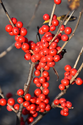 Berry Poppins® Winterberry (Ilex verticillata 'FARROWBPOP') at Riverbend Nurseries