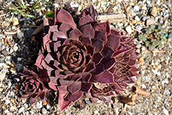 Chocolate Kiss™ Hens And Chicks (Sempervivum 'Chocolate Kiss') at Riverbend Nurseries