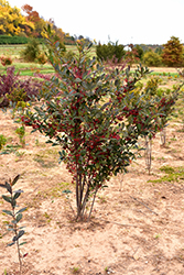 Brilliantissima Red Chokeberry (Aronia arbutifolia 'Brilliantissima') at Riverbend Nurseries