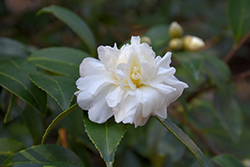 Snow Flurry Camellia (Camellia 'Snow Flurry') at Riverbend Nurseries