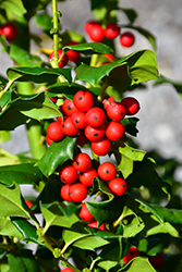 China Girl Meserve Holly (Ilex x meserveae 'China Girl') at Riverbend Nurseries