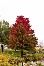 Red Sunset Red Maple (Acer rubrum 'Red Sunset') at Riverbend Nurseries
