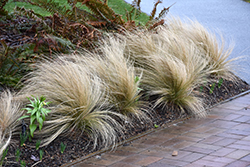 Mexican Feather Grass (Nassella tenuissima) at Riverbend Nurseries