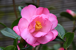 Taylor's Perfection Camellia (Camellia x williamsii 'Taylor's Perfection') at Riverbend Nurseries