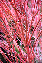 Coral Bark Japanese Maple (Acer palmatum 'Sango Kaku') at Riverbend Nurseries