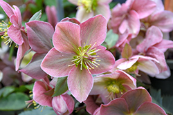 Gold Collection Platinum Rose Hellebore (Helleborus 'Platinum Rose') at Riverbend Nurseries