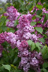 Old Glory Lilac (Syringa 'Old Glory') at Riverbend Nurseries