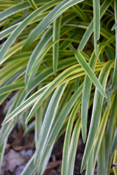 Silvery Sunproof Variegated Lily Turf (Liriope muscari 'Silvery Sunproof') at Riverbend Nurseries