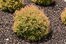 Fire Chief™ Arborvitae (Thuja occidentalis 'Congabe') at Riverbend Nurseries