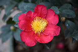 Yuletide Camellia (Camellia sasanqua 'Yuletide') at Riverbend Nurseries