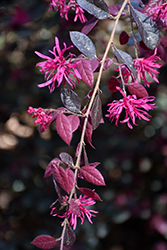 Purple Diamond® Fringeflower (Loropetalum chinense 'Shang-hi') at Riverbend Nurseries