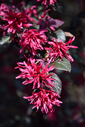 Sparkling Sangria™ Chinese Fringeflower (Loropetalum chinense 'PIILC-II') at Riverbend Nurseries