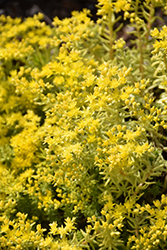 Lemon Ball Stonecrop (Sedum rupestre 'Lemon Ball') at Riverbend Nurseries