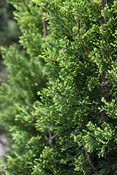 Brodie Redcedar (Juniperus virginiana 'Brodie') at Riverbend Nurseries